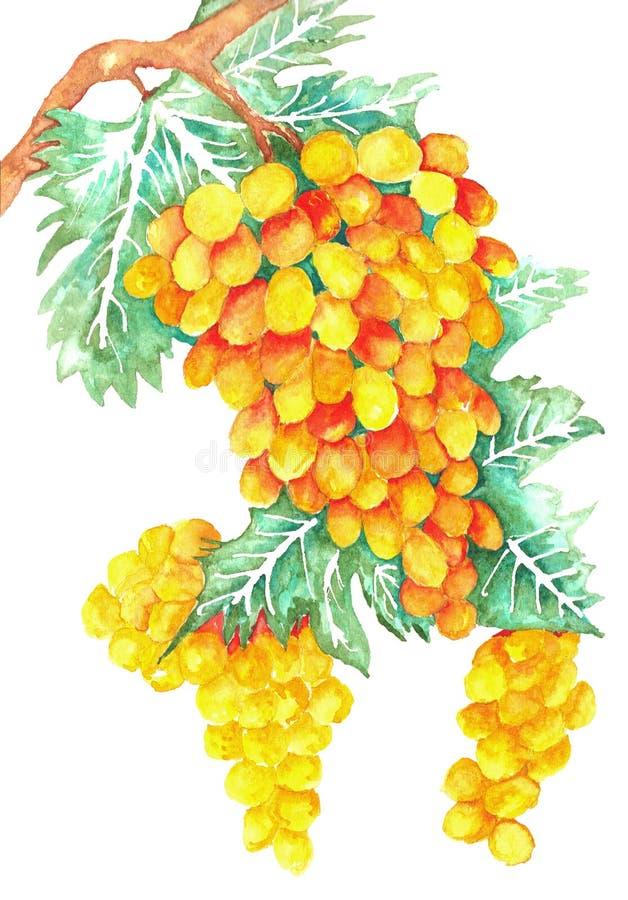 druiven met wijnstokkenwaterverf stock afbeeldingen