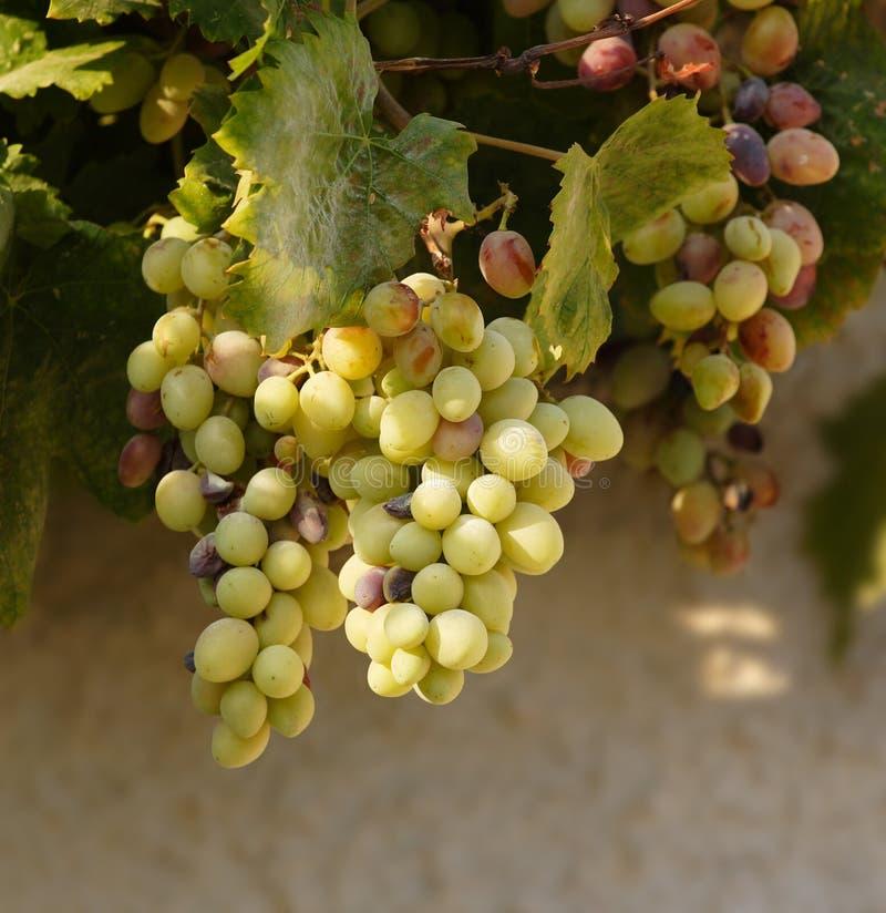 Druiven op de wijnstok royalty-vrije stock fotografie