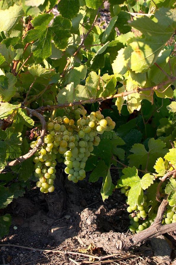 Download Druiven op de wijnstok stock afbeelding. Afbeelding bestaande uit zoet - 30539