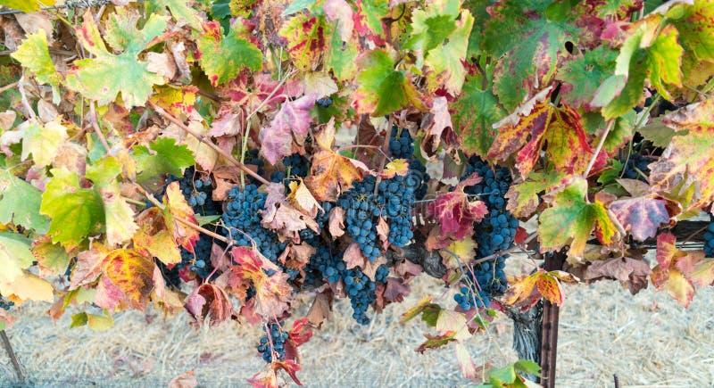 Druiven op de wijnstok, de wijnmakerij van Californië royalty-vrije stock fotografie