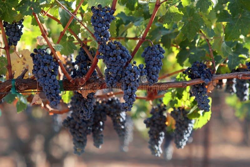 Druiven op een wijnstok royalty-vrije stock fotografie