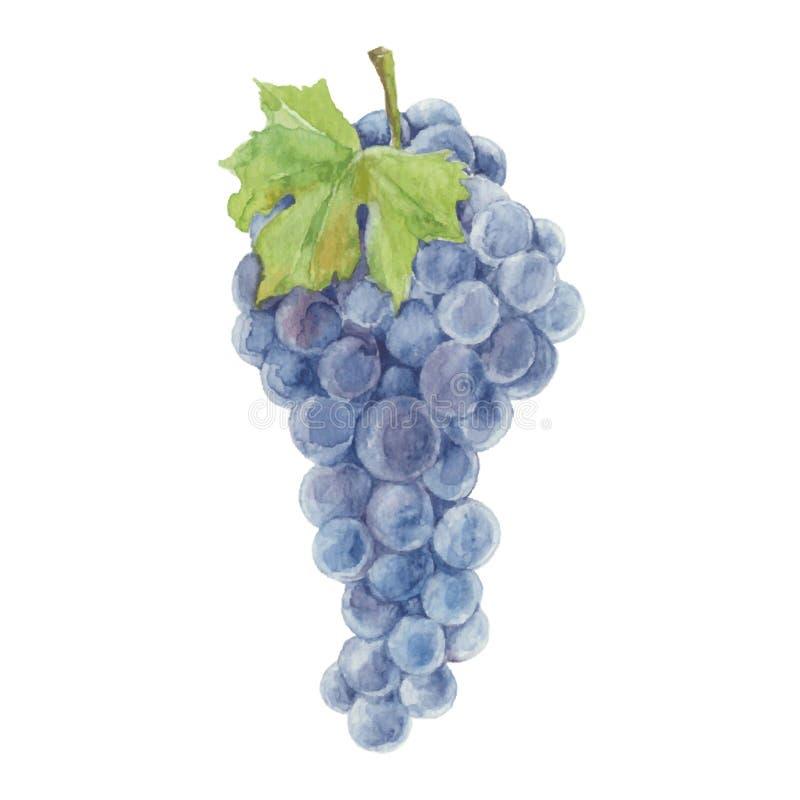 Druiven op een witte achtergrond worden geïsoleerd die Vector, Dr. van de waterverfhand stock illustratie