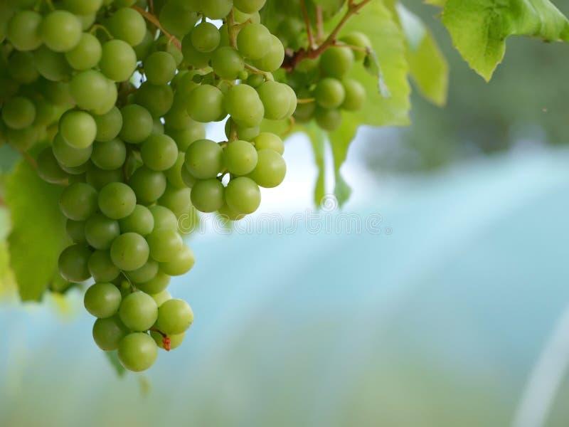 Druiven Op Het Landschap Van De Wijnstok Stock Fotografie