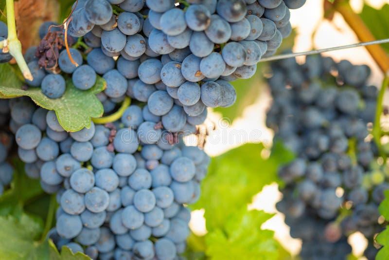 Druiven van de close-up de Weelderige, Rijpe Wijn op de Wijnstok Klaar voor Oogst royalty-vrije stock afbeeldingen