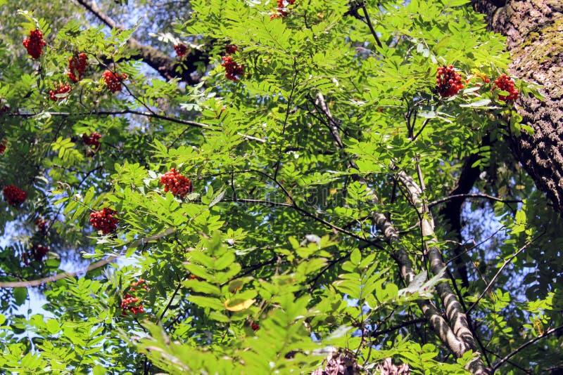 Druiven van het rode lijsterbes hangen op takken royalty-vrije stock afbeelding