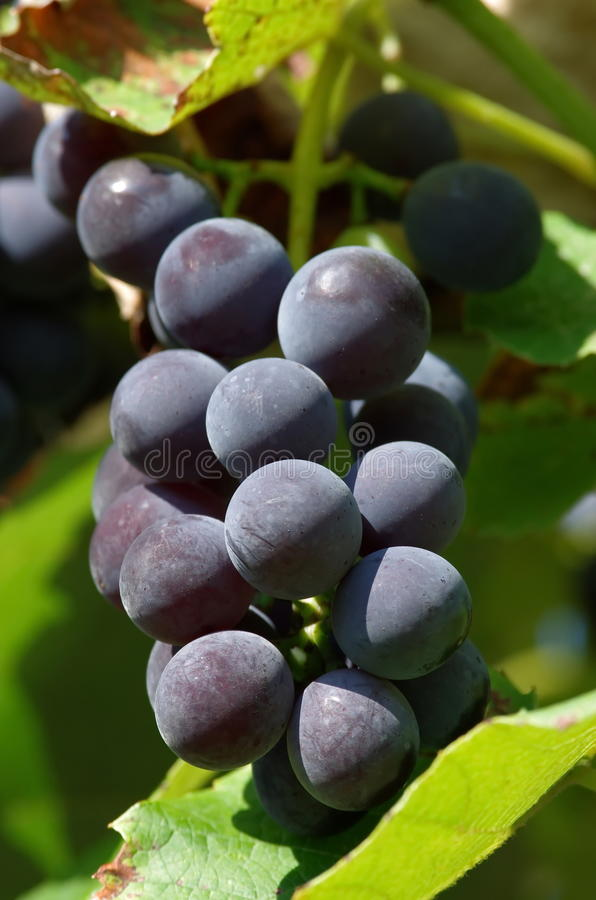 Druiven van rode wijn stock fotografie