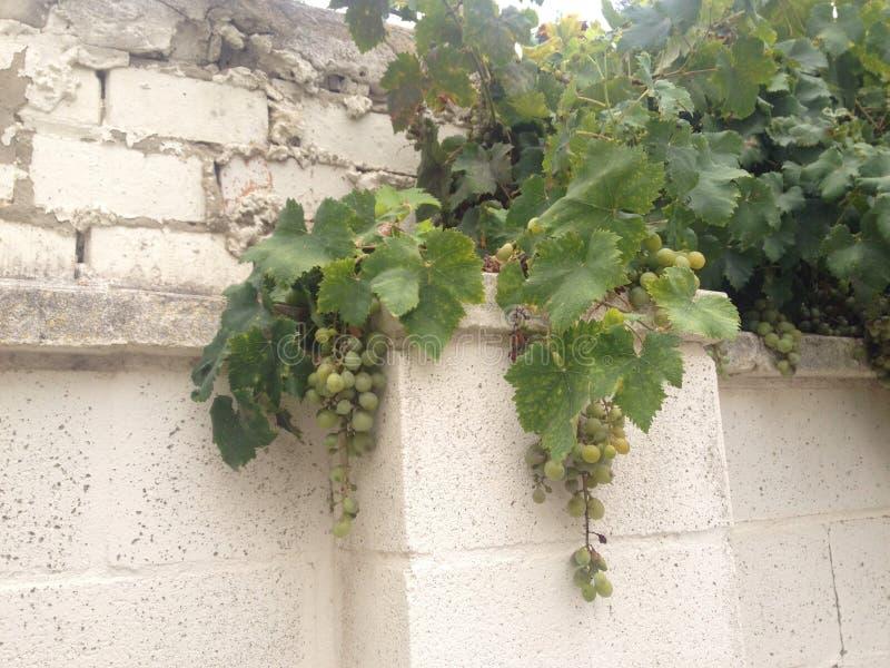 Druiven van Spanje royalty-vrije stock afbeelding
