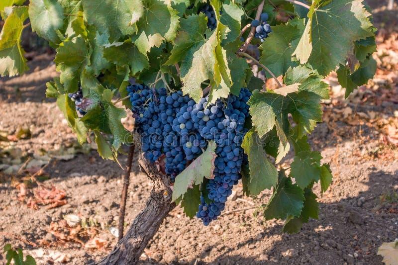 Druiven van zwarte wijn in Sicilië - Italië stock afbeeldingen