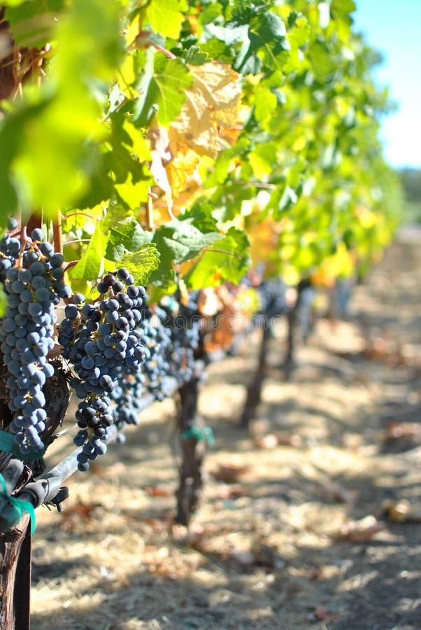 Druiven voor wijn het maken stock afbeelding