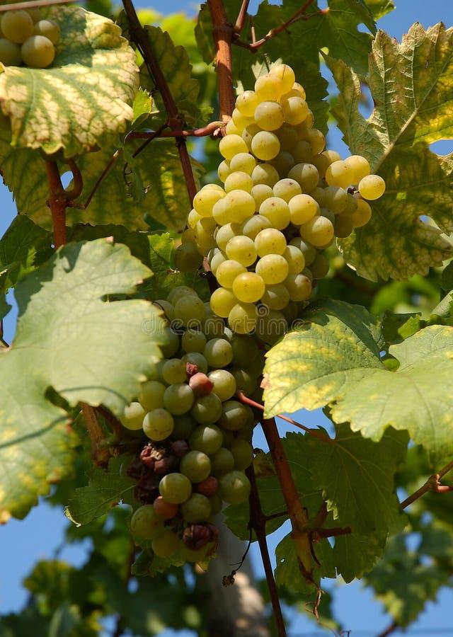 Druiven | Wijngaard stock foto's