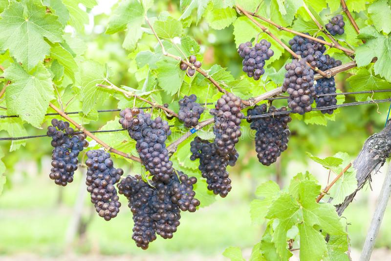 druiven in wijngaarden & x28; pinot gris & x29; Zuid-Moravië, Tsjechië royalty-vrije stock foto's