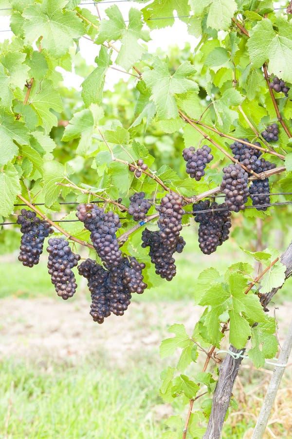 druiven in wijngaarden & x28; pinot gris & x29; Zuid-Moravië, Tsjechië stock afbeeldingen