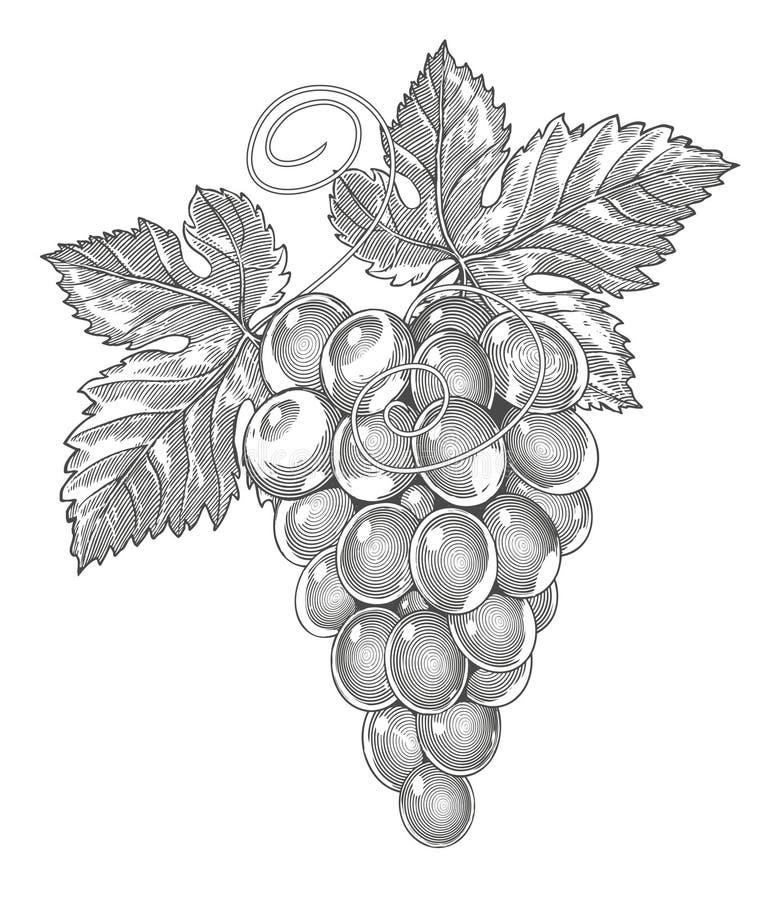 Druiven in wijnoogst gegraveerde stijl vector illustratie