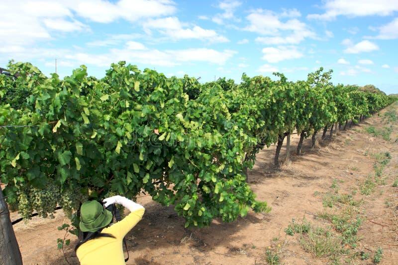 Druiven in wijnwerf stock afbeeldingen