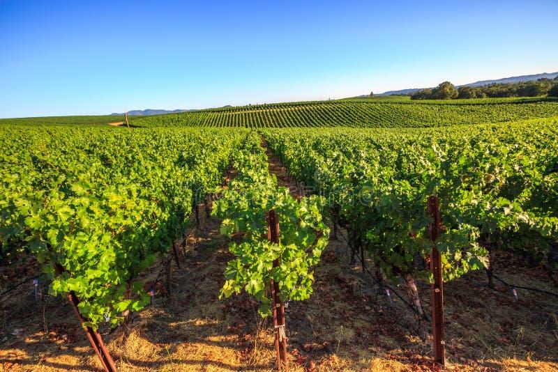 Druivenaanplanting van Napa-vallei stock afbeeldingen
