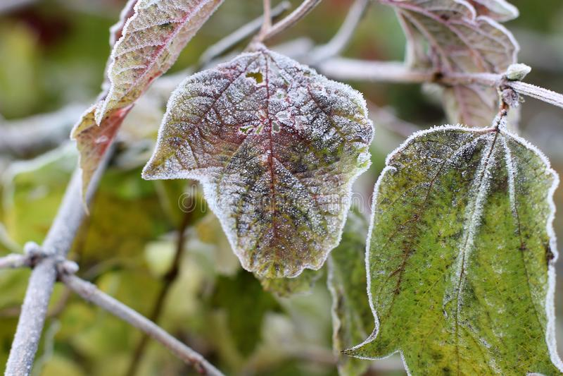 Druivenbladeren in de vorst royalty-vrije stock foto's