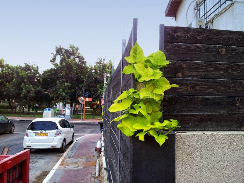 Druivenbladeren door de omheining worden gekweekt die stock afbeelding