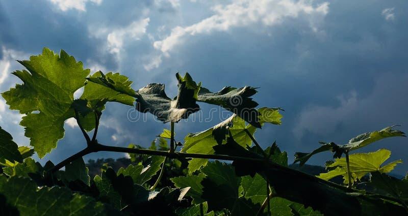 Druivenbladeren en hemel royalty-vrije stock fotografie