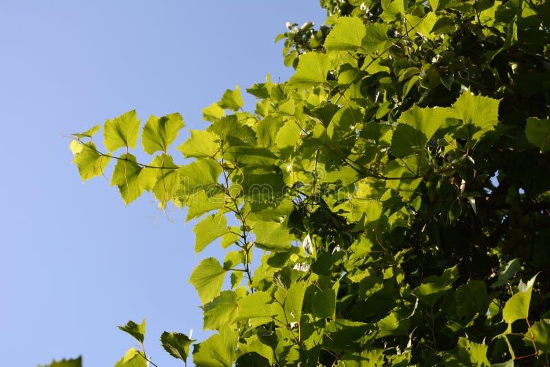 Druivenbladeren op de achtergrond van duidelijke blauwe hemel Tuin in de zomer royalty-vrije stock foto