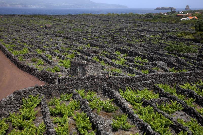 Druivencultuur op de Azoren in strak gevoerde percelen met lavastenen royalty-vrije stock afbeeldingen
