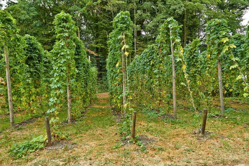 Druivendruiven in een wijngaard in de zomer juli stock foto's