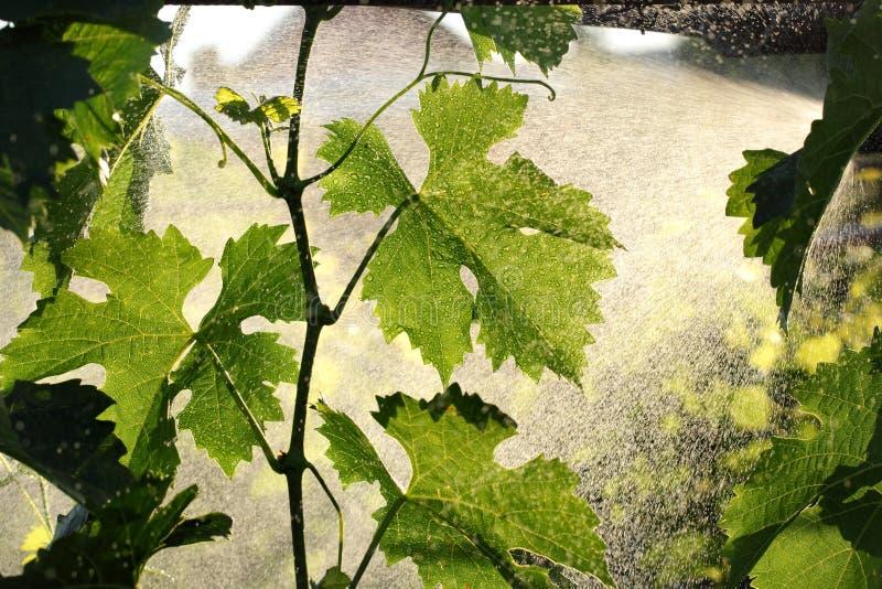 Druiveninstallatie die in wijngaard behandelen royalty-vrije stock foto's