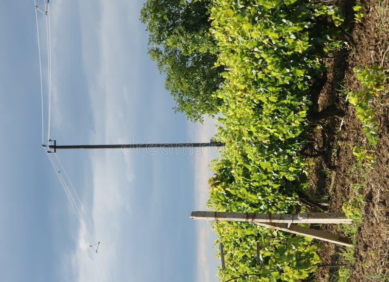 Druivenkas Moldova stock afbeelding