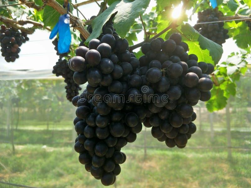 Druivenlandbouwbedrijf in het zuiden van Thailand royalty-vrije stock afbeelding