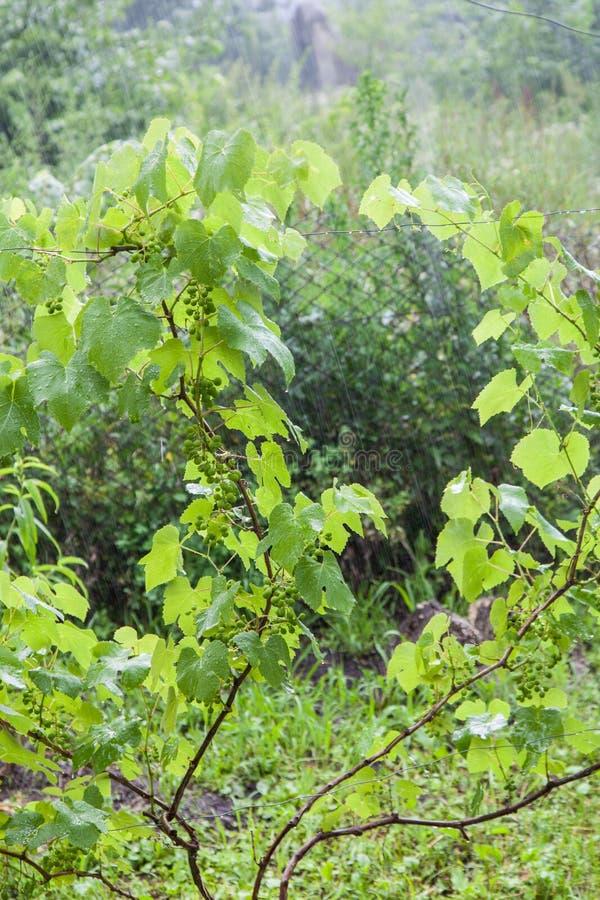 Druivenstruiken tijdens zware regen royalty-vrije stock fotografie