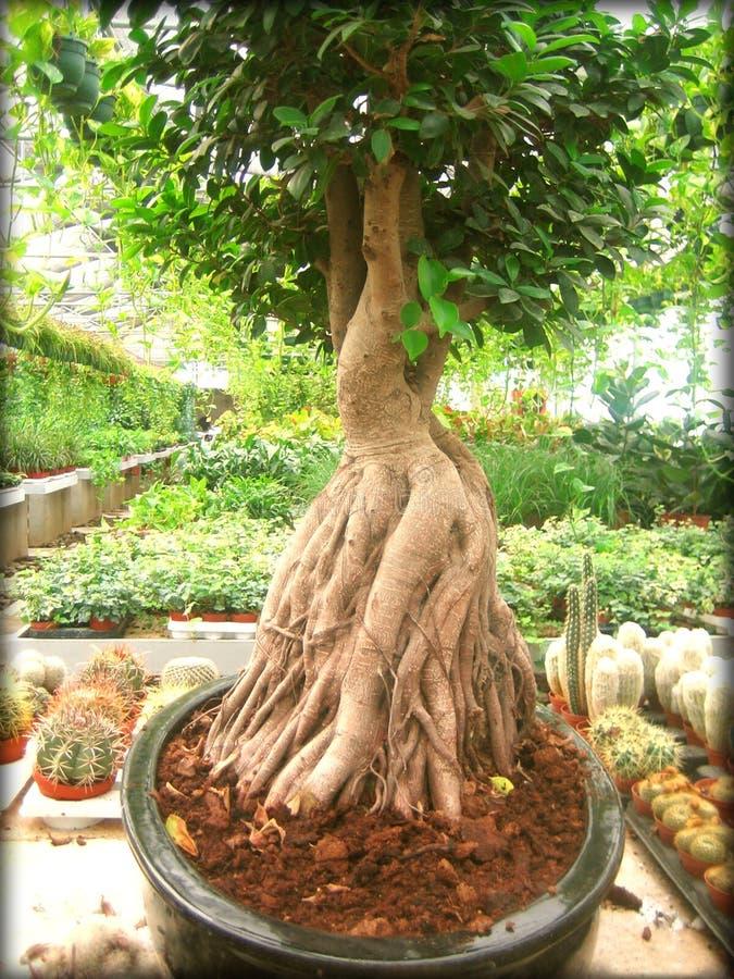 Drukken van de van de achtergrond bonsaiboom behang de fijne kunst stock afbeeldingen
