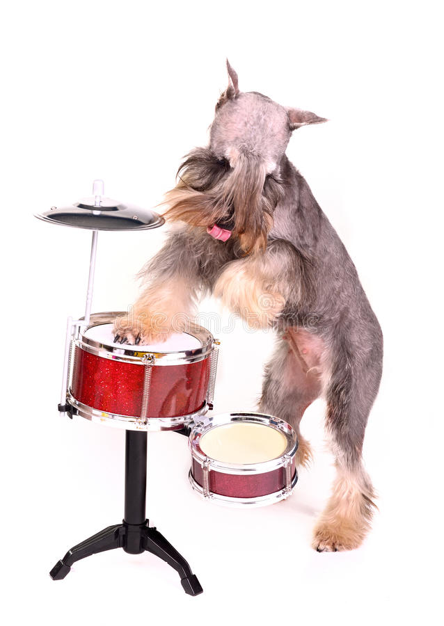 Free Drummer Dog Royalty Free Stock Images - 21731649