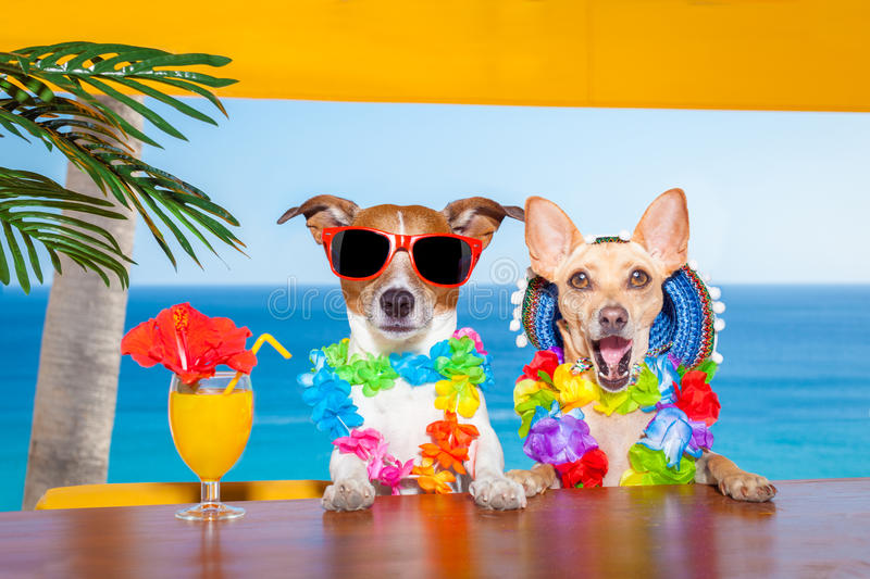Drunk cocktail dogs. Funny cool couple of dogs drinking cocktails at the bar in a beach club party with ocean view on summer vacation holidays royalty free stock photos