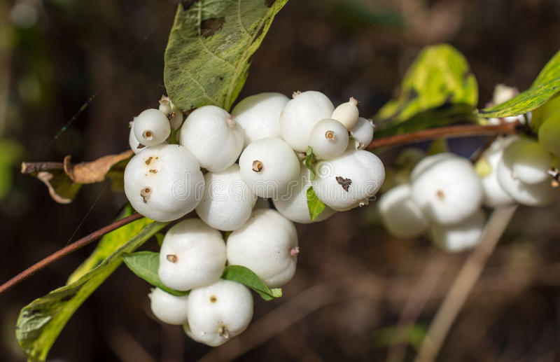 Drupes of Common snowberry, Symphoricarpos albus. White drupes at a twig of Common snowberry, Symphoricarpos albus royalty free stock photography