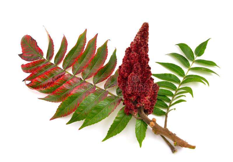 Drupes of a staghorn sumac. Drupes of a staghorn sumac isolated on white background royalty free stock photo