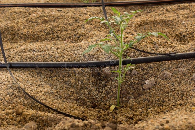 Druppelbevloeiing van tomatenzaailingen stock afbeelding