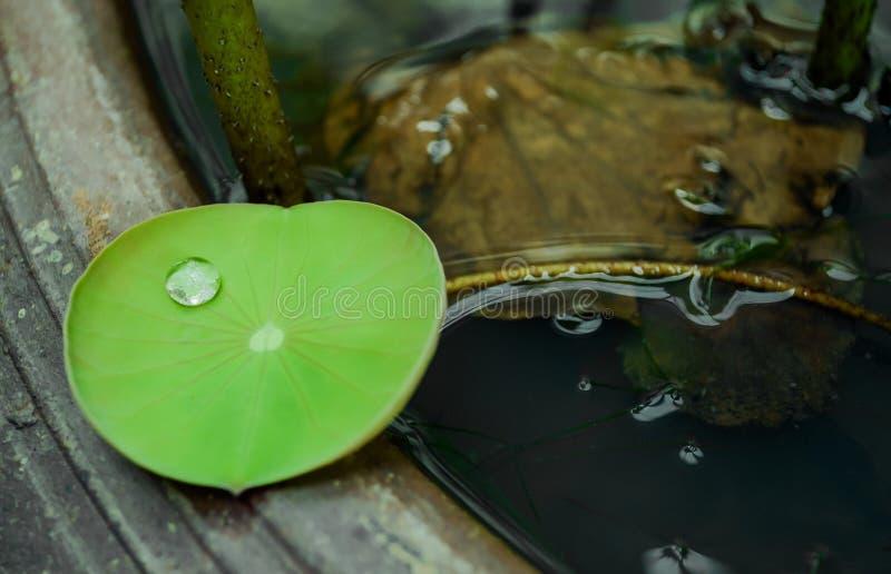 Druppeltje op klein lotusbloemblad royalty-vrije stock foto