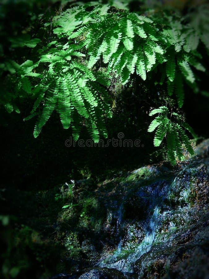 Druppeltje van het pedatum het overhangende water van Adiantum van de Maidenhairvaren in Onderstel Rainier National Park stock foto