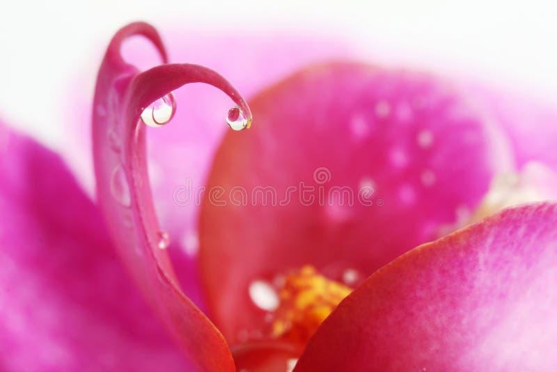 Druppeltjes op orchideebloem stock foto