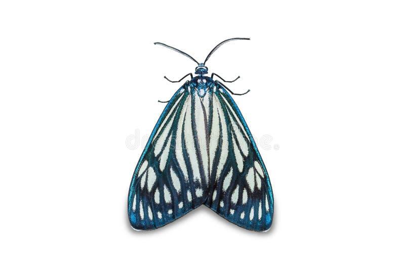 Drury`s Jewel Cyclosia papilionaris moth royalty free stock image