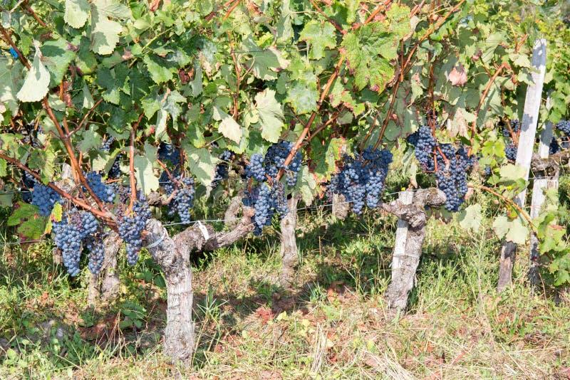 Druva-Bordeaux Wineyard höst royaltyfri foto