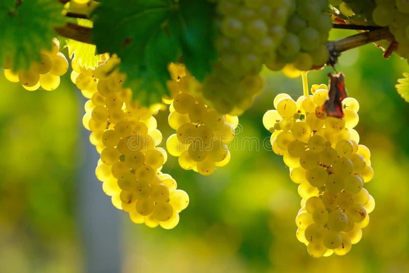 Druva för gult vin royaltyfri fotografi
