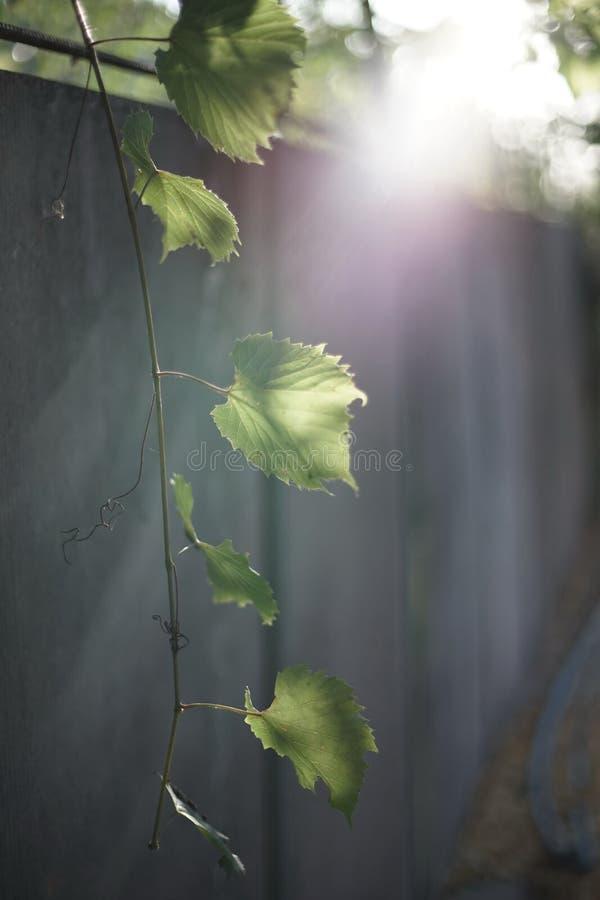 Druvafilial med gröna sidor, varmt solljus arkivfoto