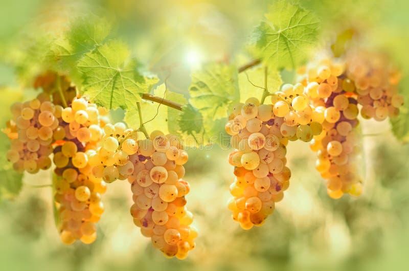 Druvan Riesling i vingård - smaka och färg av druvan som honung arkivbilder