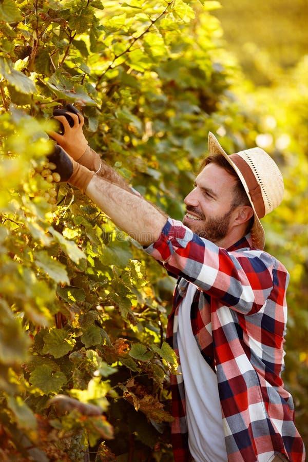 Druvaskörd - bonde som arbetar i vingård arkivfoto