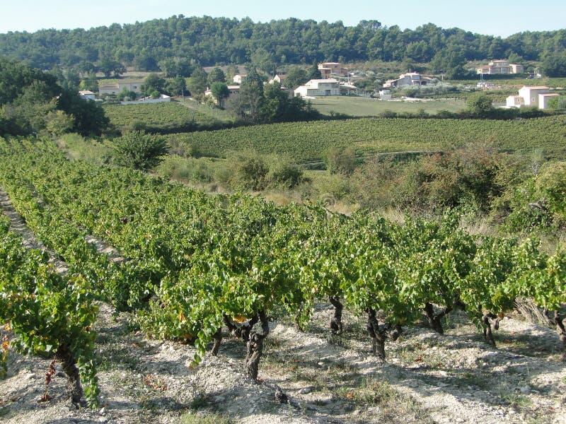 Druvavines i vingård arkivfoton