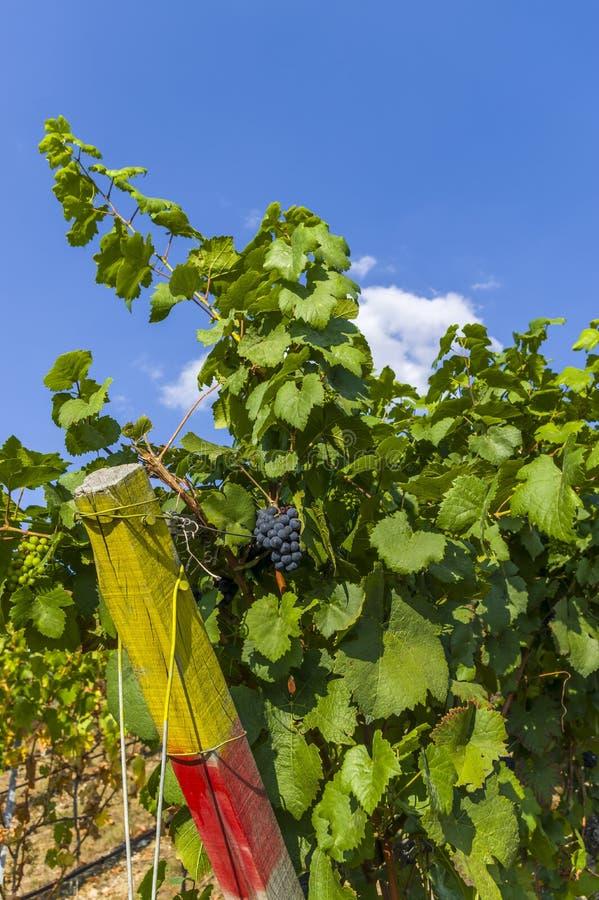 Druvavinranka med röda druvor och bär och gröna vinrankasidor i closeup och blå himmel arkivbilder