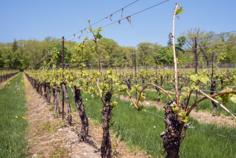 Druvavinrankor med ny tillväxt i vingård arkivbilder