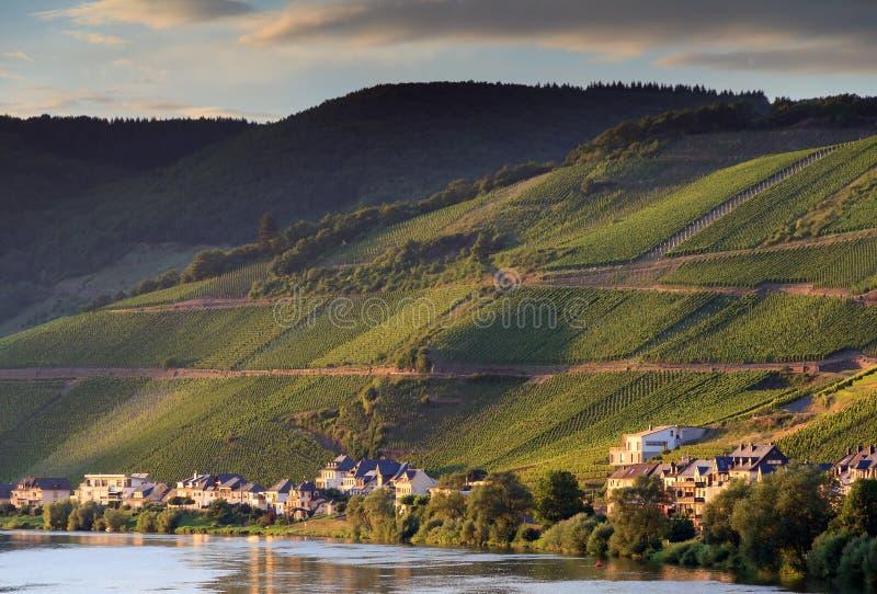 Druvavinrankor på floden Moselle arkivfoton
