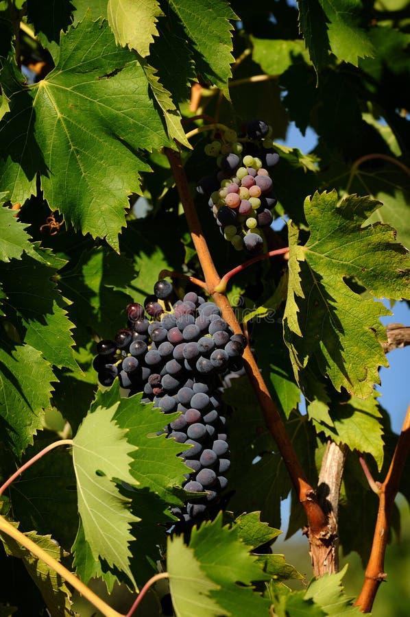 Druvor av rött vin i en Wineyards i Tuscany, Chianti, Italien arkivbilder