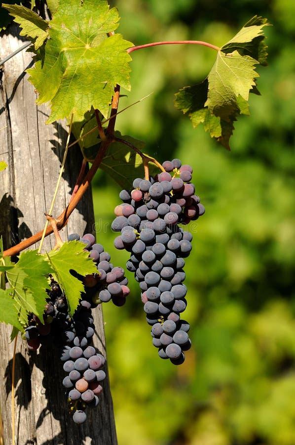 Druvor av rött vin i en Wineyards i Tuscany, Chianti, Italien arkivfoton
